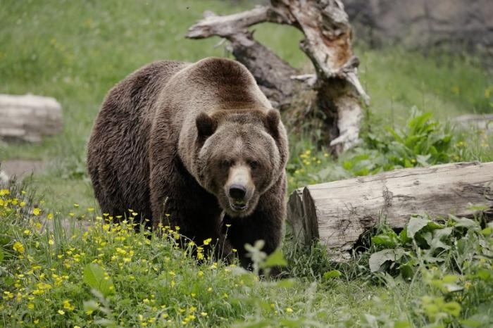 In this May 26, 2020, file photo, a grizzly bear roams an exhibit at the Woodland Park Zoo, closed for nearly three months because of the coronavirus outbreak in Seattle